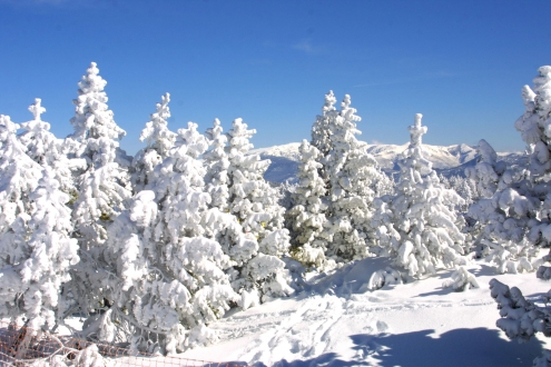 Snow covered trees, Catalan Pyrenees
